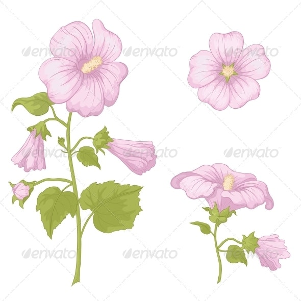 Flowers Mallow - Isolated - Flowers & Plants Nature