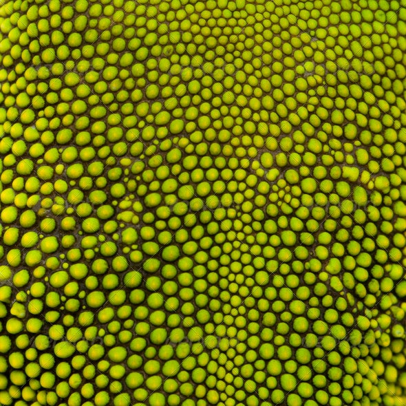 Close-up of Madagascar Day Gecko Skin - Nature Textures