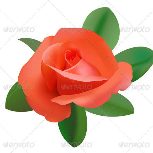 Vector illustration of red rose