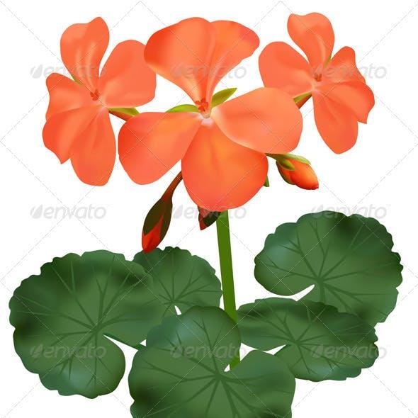 Vector illustration of blooming geranium