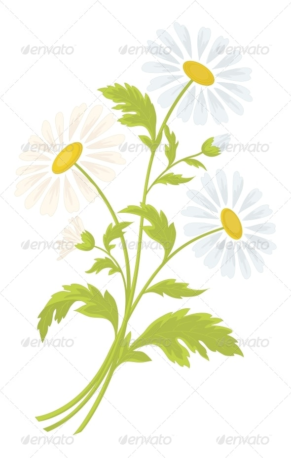 Chamomile Flowers - Flowers & Plants Nature