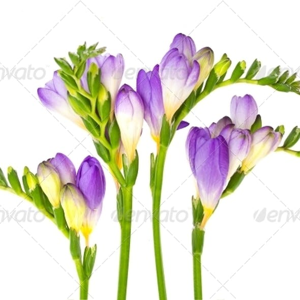 Branch of Freesia with Flower Buds