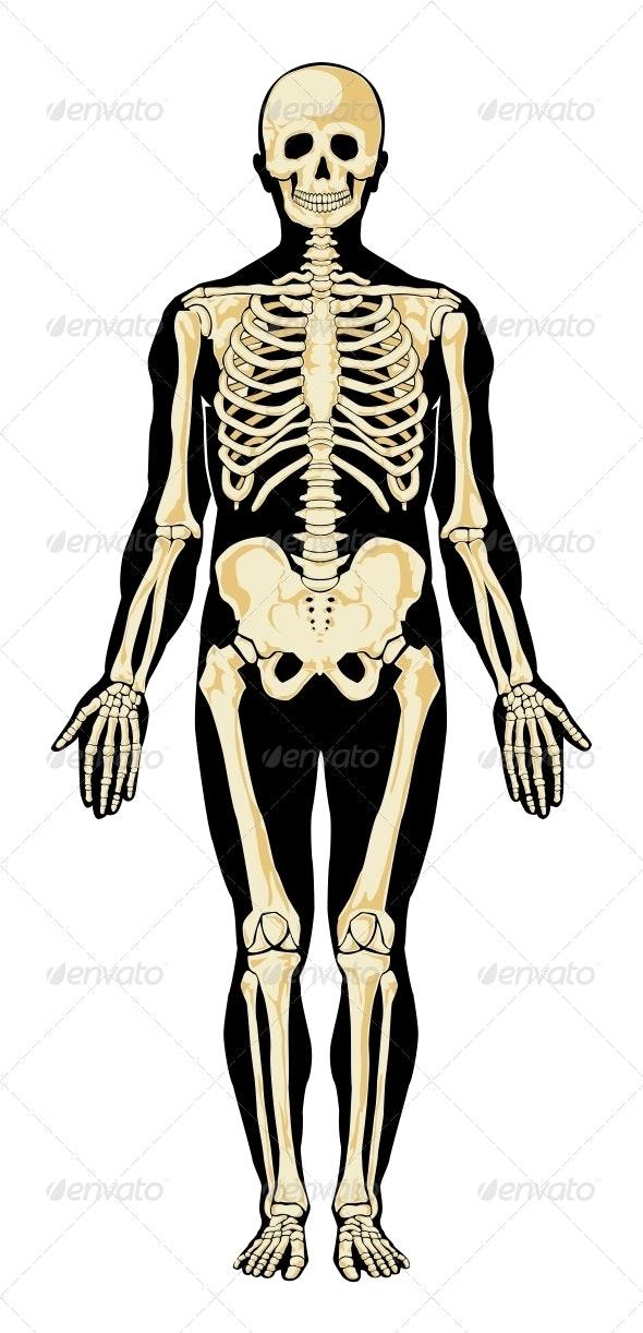 Human Skeleton - Health/Medicine Conceptual