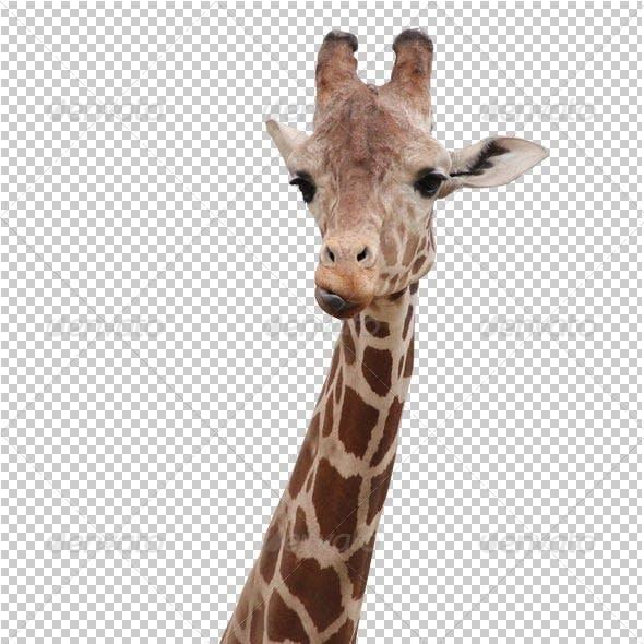 Giraffe transparency