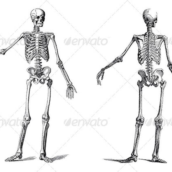 Human Skeleton Vintage Nineteenth Century