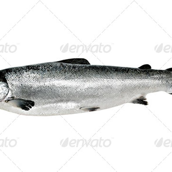 Big salmon fish isolated