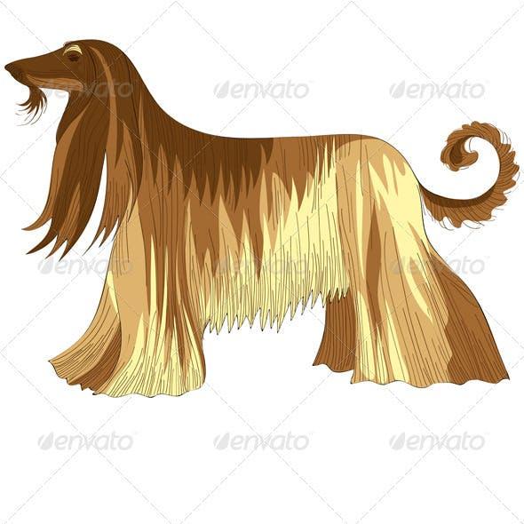 Dog Afghan hound breed