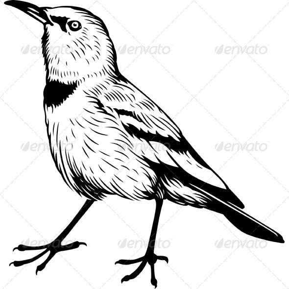 Pander's Ground Jay