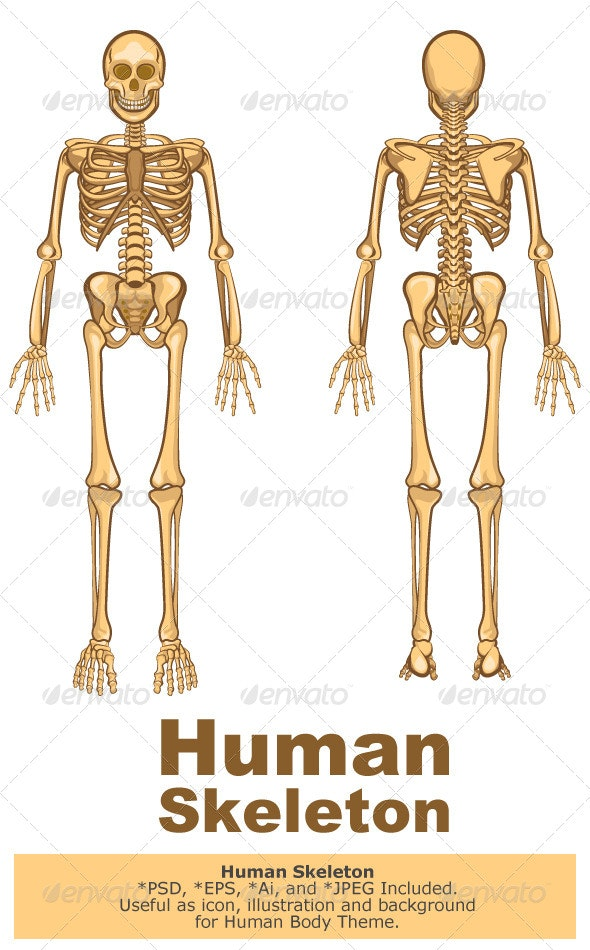Human Skeleton Vector Illustration - People Characters