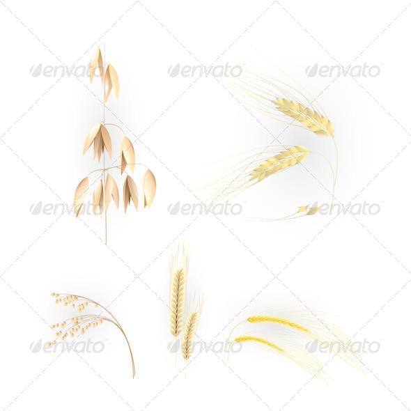 Illustration with Ears of Grain