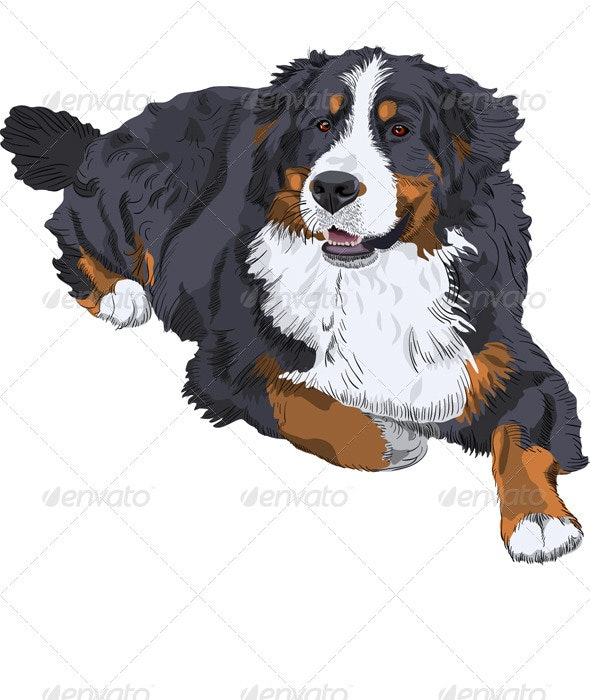 Vector Bernese Mountain Dog breed - Animals Characters