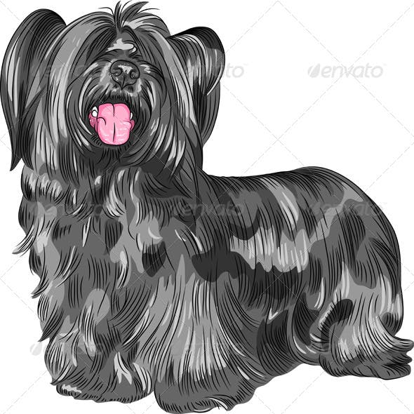 Funny shaggy smiling dog Skye Terrier  breed