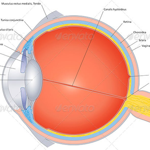 Structures Of The Human Eye Labeled