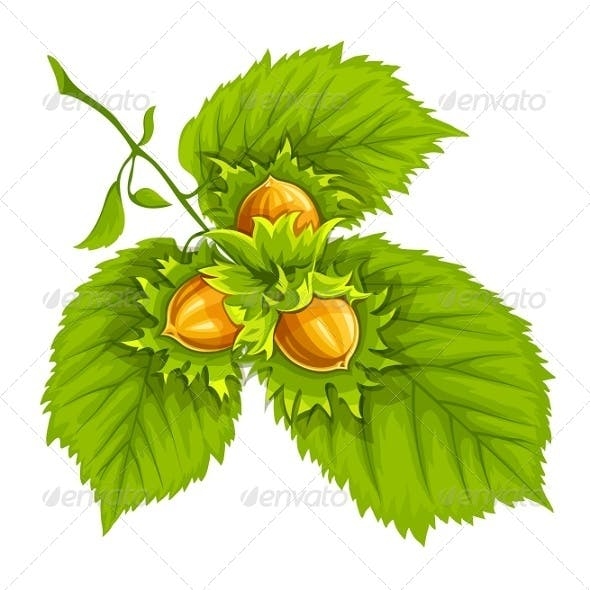 Hazelnuts on Green Leaves